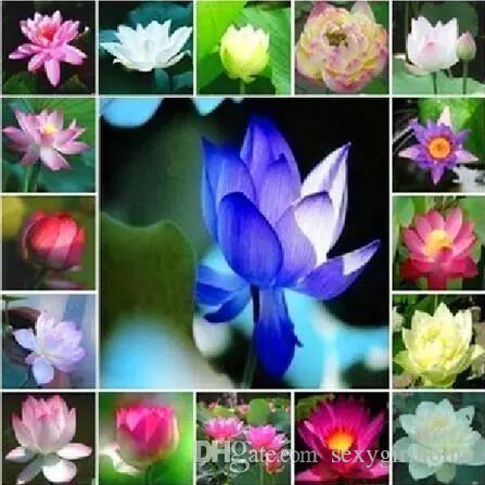 2019 10 Seesdpack Lotus Seeds All Varieties Nelumbo Nucifera