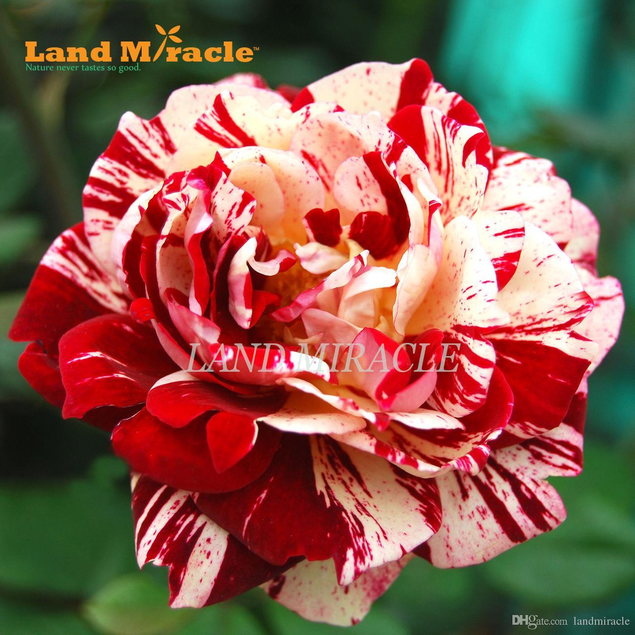 100 seeds / pack, Rare Black Dragon Hybrid Rose Seeds, Heirloom Red and White Rose flower seeds Planting for DIY home garden Bonsai Plant