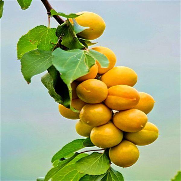 Apricot tree Tree Seeds Natural Perfume Indoor, DIY Home Garden Bonsai 5Seeds A023