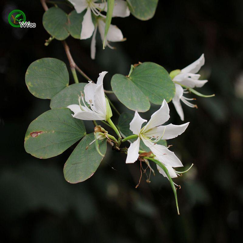 Beautiful SpSafflower Bauhinia Seeds Bonsai Seeds Garden Plants Flower Seeds Annual Herb 5 Particles / J11