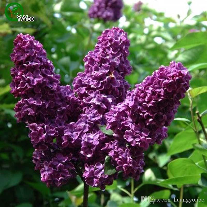 Lila Samen Chinesische Bonsai Tree Seeds Dies ist 100% True Seed 50 Stück R019