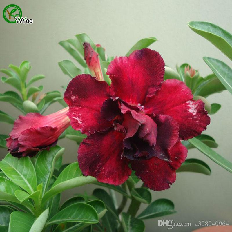 Desert rose Seeds Bonsai Flower Seeds Potted Plants Flowers 5 Particles / Bag b010
