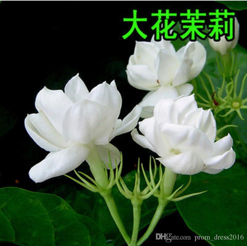 2016 Jasmine genre Aiton 100 graines de fleurs de jasmin Graines de jardins chinois du Sud Vivaces Woody Jasmine White Graine de couleur pourpre 1168