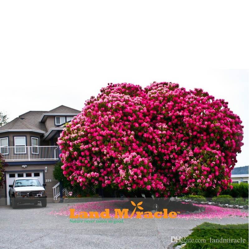 10 Samen / pack, erstaunliche Rosa Kirschbaum, Japanische Sakura Kirschblüten Baum Samen für DIY Hausgarten, Woody Kirschblütenbaum