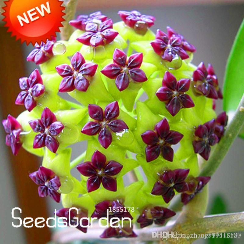 Acquista 30 pz borsa hoya semi palla orchidea semi di for Semi orchidea