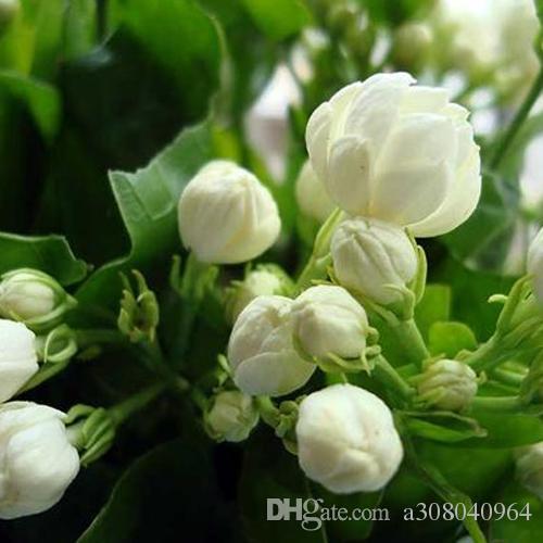 20Seeds / bag di semi del gelsomino piante da semi di fiori perenni