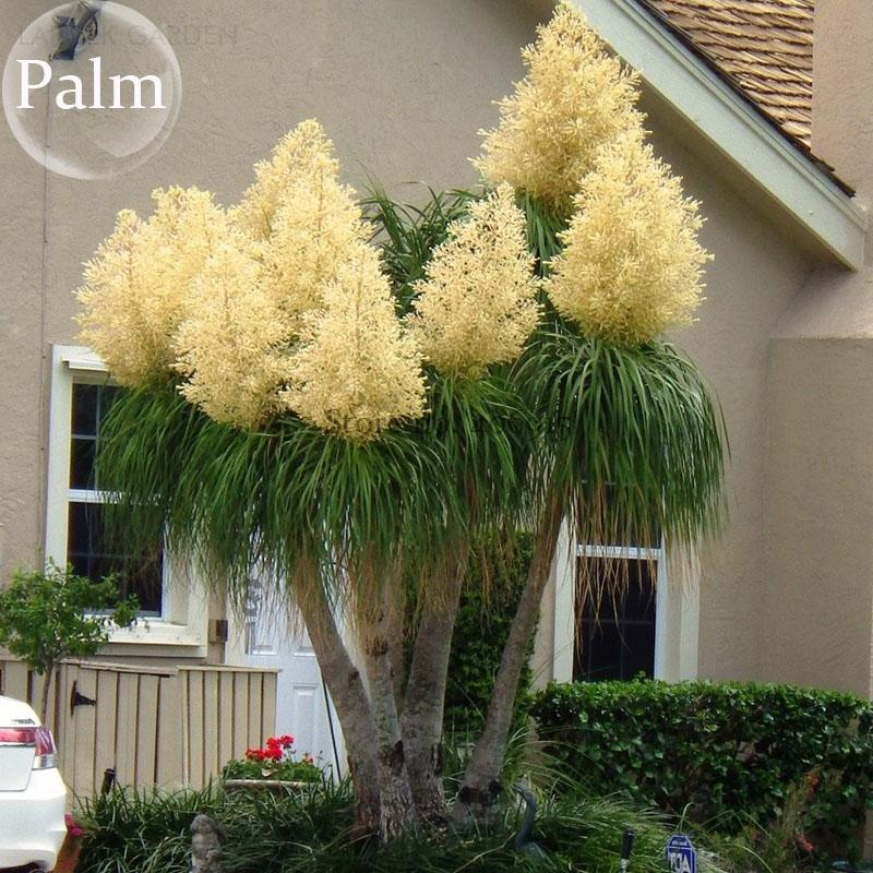 2020 Beaucarnea Recurvata Ponytail Palm 5 Seeds Tree Seeds Plants Bonsai Garden Plants E3770