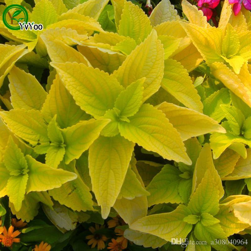 Green Coleus Seeds Flower Pot Planters Garden Bonsai Grass Seed 30 Particles / w002