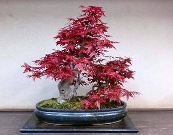 Acquista semi di piante in vaso 100 pz borsa semi for Acero rosso canadese prezzo