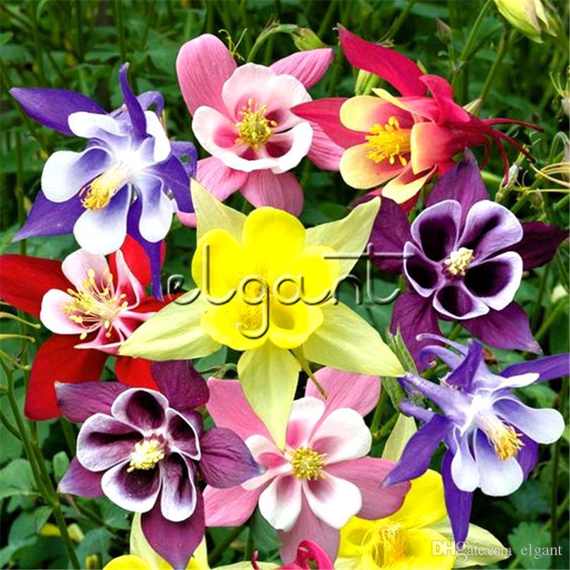 2019 500 Seeds Garden Columbine Aquilegia Mixed Color Perennial