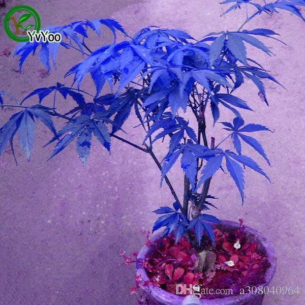 Бонсай дерево кленовые семена завода 100% истинные семена в добрые стрельбы дома садовый завод 20 частиц / сумка