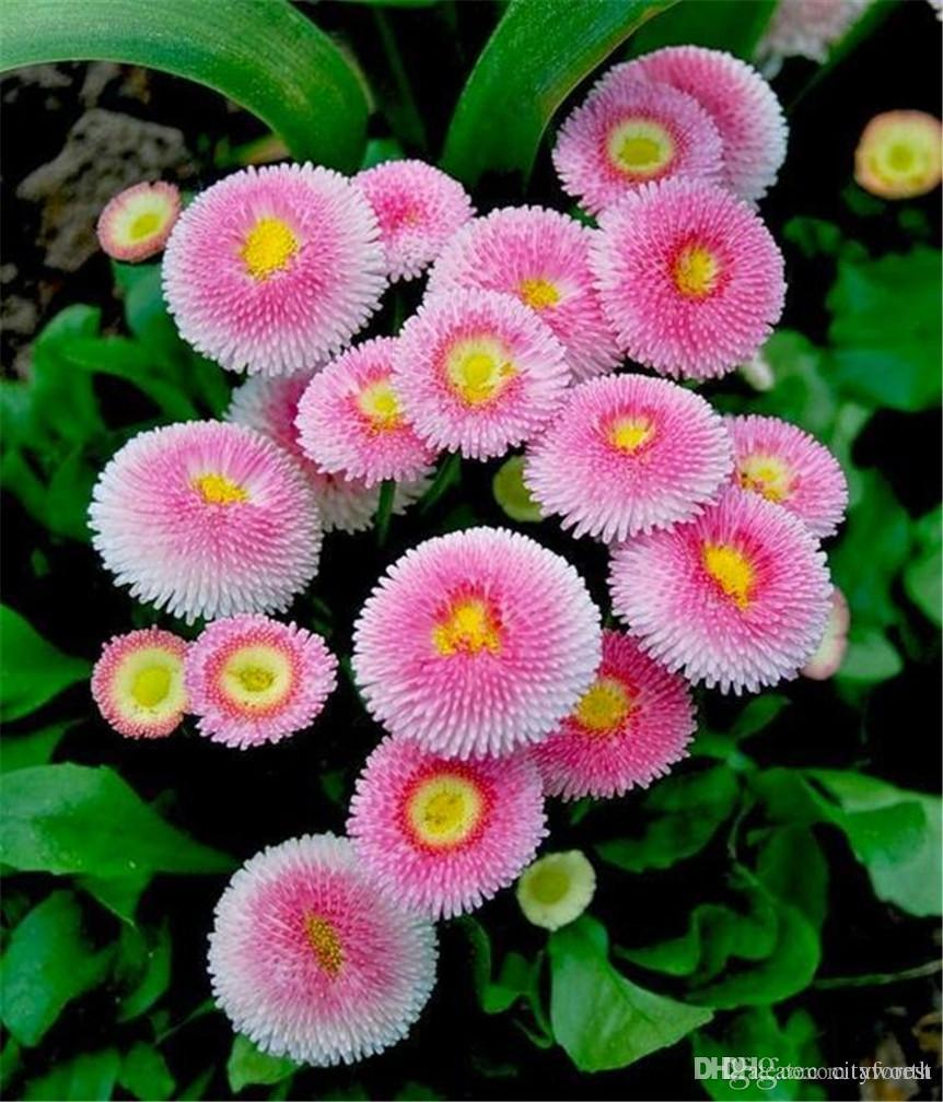 Lovely Pink Daisy Biennial Flower Seeds Bellis Daisy Easy To Grow