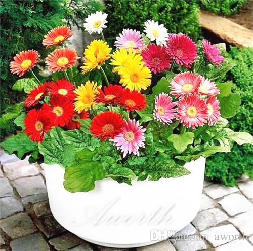 2018 gerbera flower 20 seeds great for cut flower easy growing diy 2018 gerbera flower 20 seeds great for cut flower easy growing diy home garden perennial flowering plant high germination from aworth 502 dhgate mightylinksfo