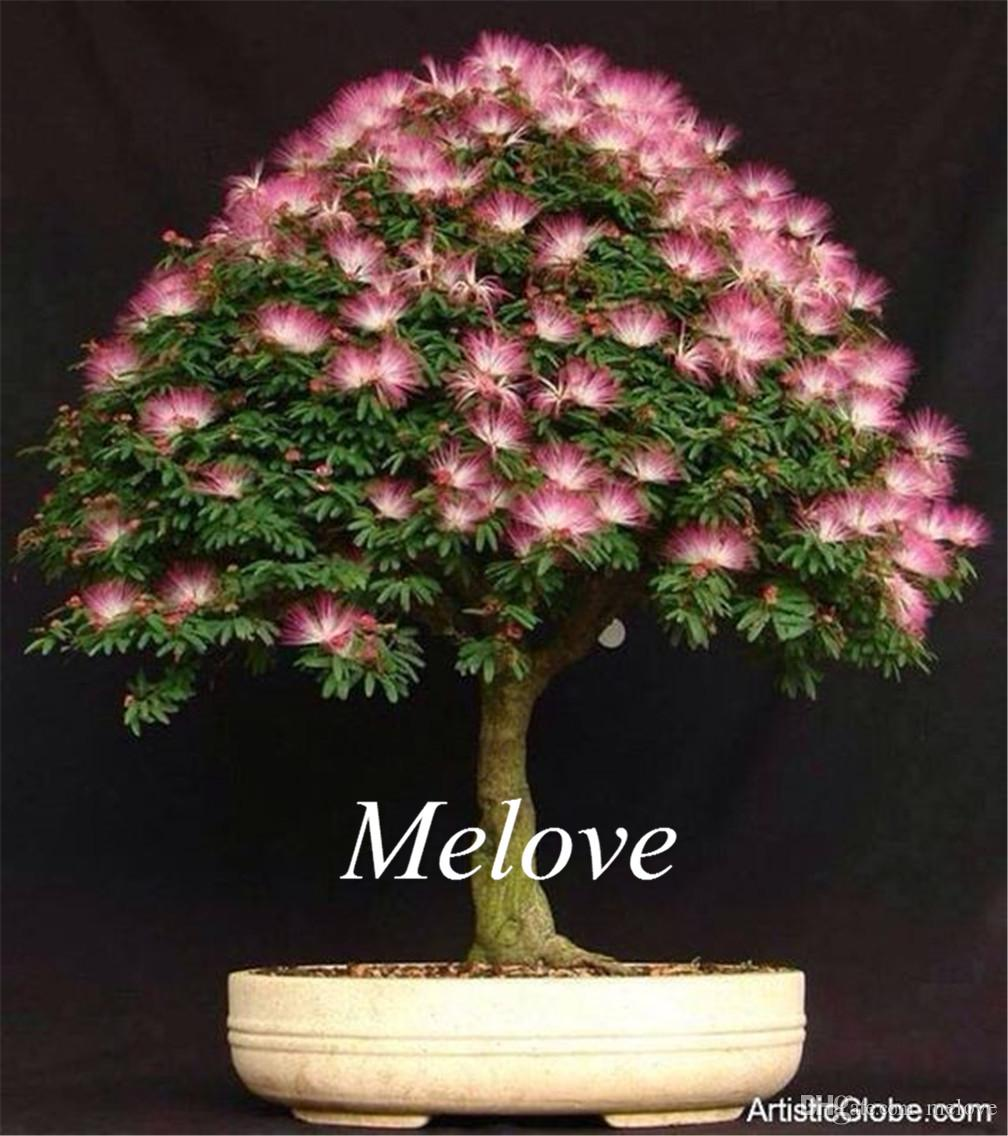 2018 albizia julibrissin mimosa silk tree flower seeds diy home 2018 albizia julibrissin mimosa silk tree flower seeds diy home garden bonsai tree seeds from melove 392 dhgate mightylinksfo