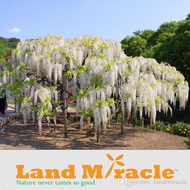 5 Seeds/pack, Rare Climbing Flower Plants White Wisteria seeds, Bonsai Wisteria Sinensis Tree for DIY Home & Garden Plants