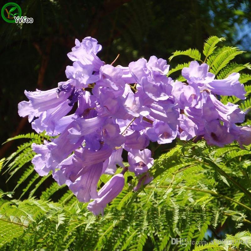 Jacaranda Samt Bonsai-Baum 100% echter Samen in-kind Schießen Heimgartenpflanze W016