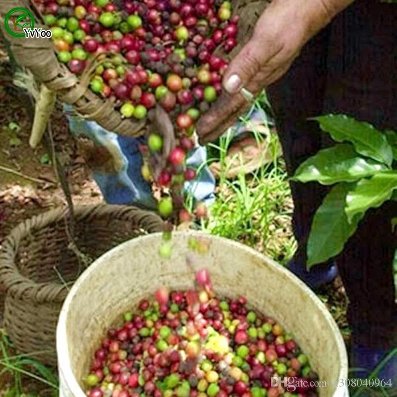 Rafraîchissements de graines de café graines de bonsaï arbre graines Très belle arbre intérieur Arbre intérieur Plantez 10 particules / sac G019