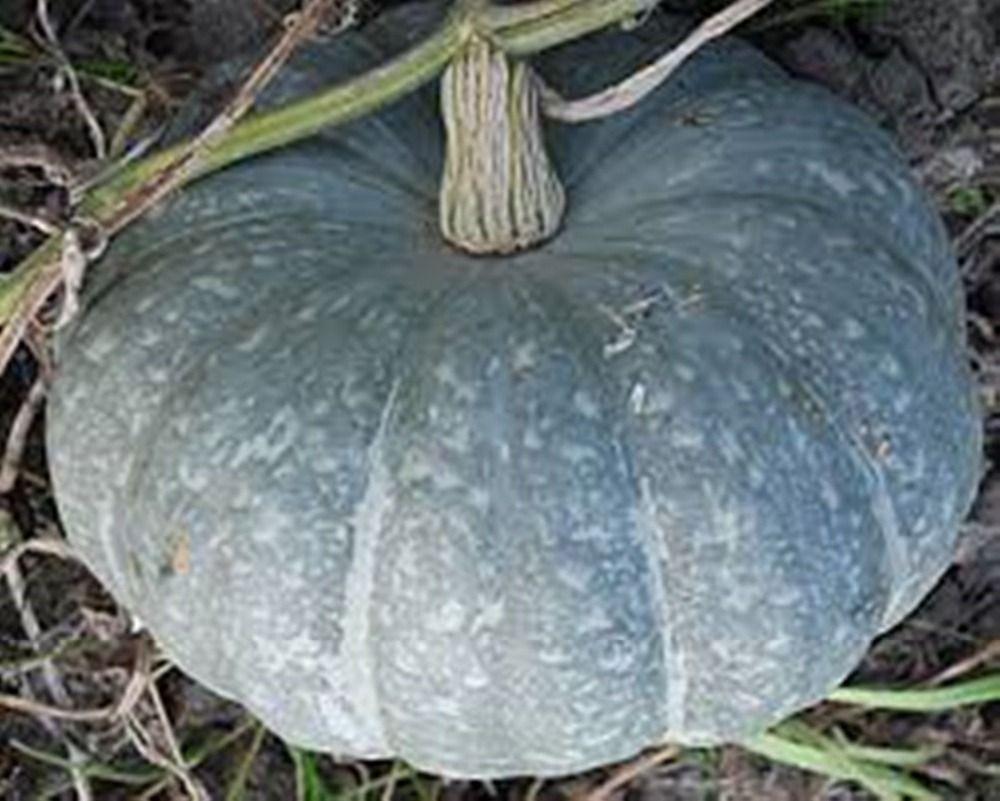20 sementes cinzas abóbora Zimnyaya sladkaya - inverno açúcar russo herança semente s019