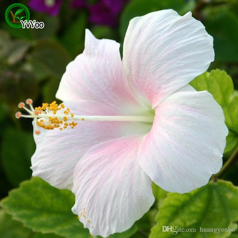 Acheter Graines D\'Hibiscus Blanc Pot De Fleurs Planteurs Jardin ...