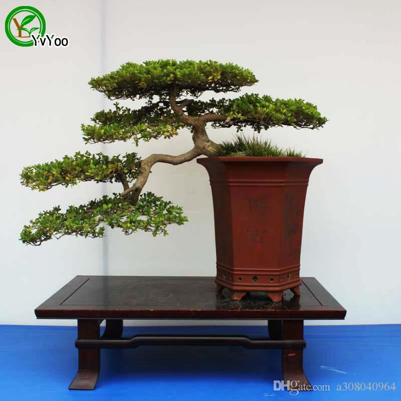 2021 Black Pine Seeds Bonsai Tree Seeds Very Beautiful Indoor Tree Home Garden Plant 50 Particles Bag G008 From A308040964 1 92 Dhgate Com
