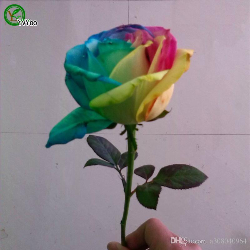 50 Samen Seltene Holland Regenbogen-Rosen Samen Blumen-Liebhaber bunte Hausgarten-Pflanzen F056
