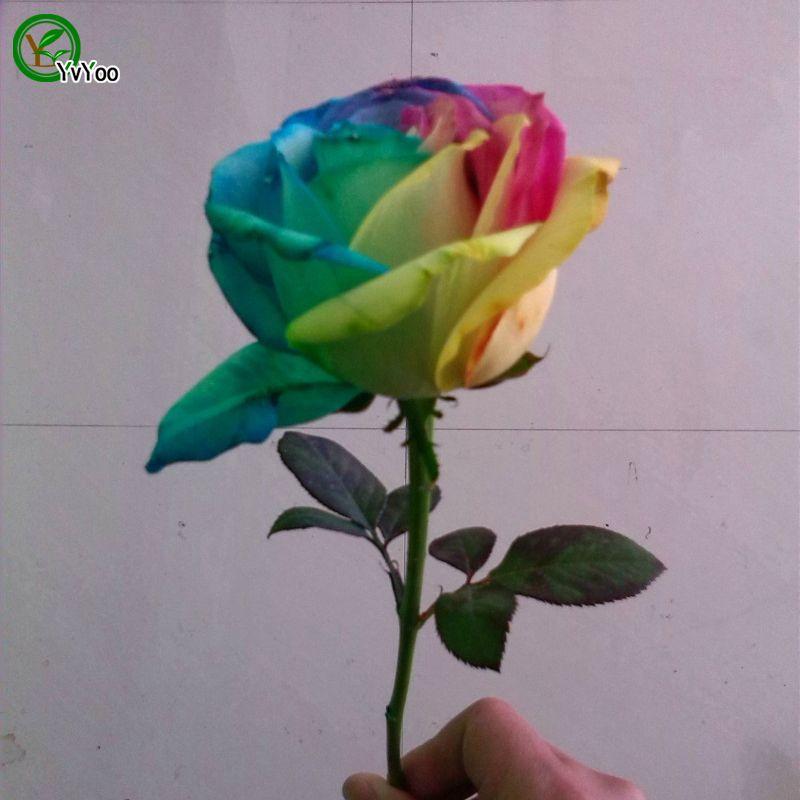 희귀 네덜란드 레인보우 로즈 씨앗 꽃 연인 다채로운 홈 정원 식물 F056 50 개 씨
