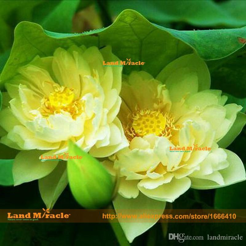 2019 Flower Seeds 100 True Natural Growth Yellow Lotus Seeds 1
