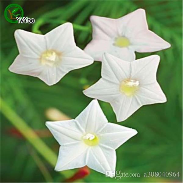 2018 flower climbing vine white morning glory seeds cypress vine 2018 flower climbing vine white morning glory seeds cypress vine seeds garden decoration flower d86 from a308040964 051 dhgate mightylinksfo