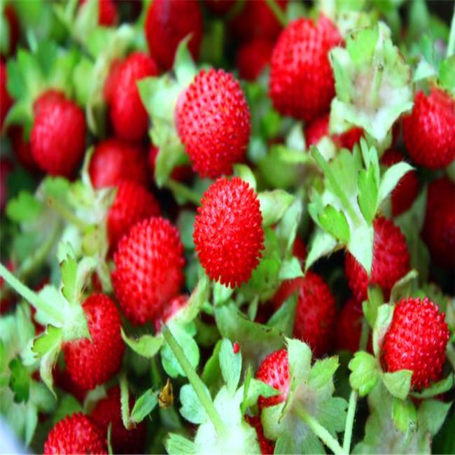 DIY 50 Samen Hausgartenpflanze Chinesische Indische erdbeere Baum Samen L008