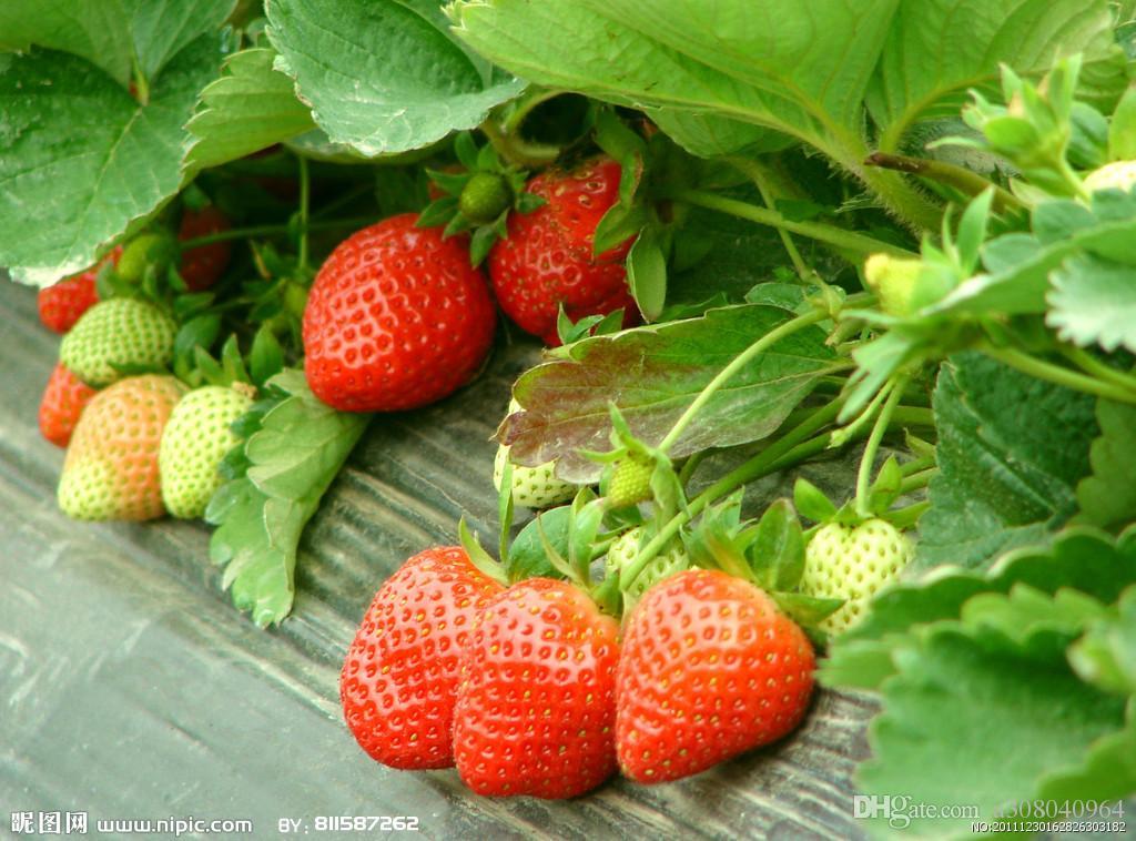 분재 과일 거 대 한 딸기 씨앗 과일 유기농 가보 정원 장식 공장 A66