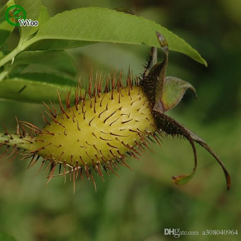 شيروكي روز بذور بذور زهرة نادرة diy الرئيسية حديقة النبات سهلة لتنمو 50 جزيئات / الكثير H08