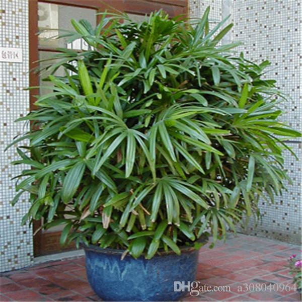 sementes De Bambu palma em vasos varanda plantio temporadas Palma sementes de bambu S10 jardim de Casa