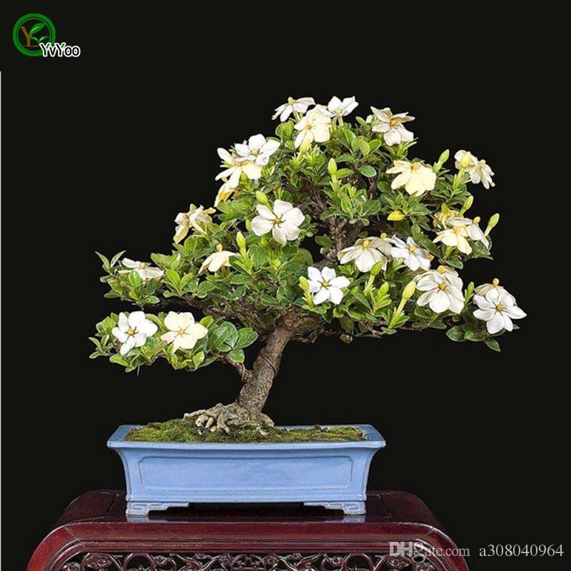 Ароматный цветок семена жасмина бонсайские семена цветок в горшках растения цветы 30 частиц / сумка w018