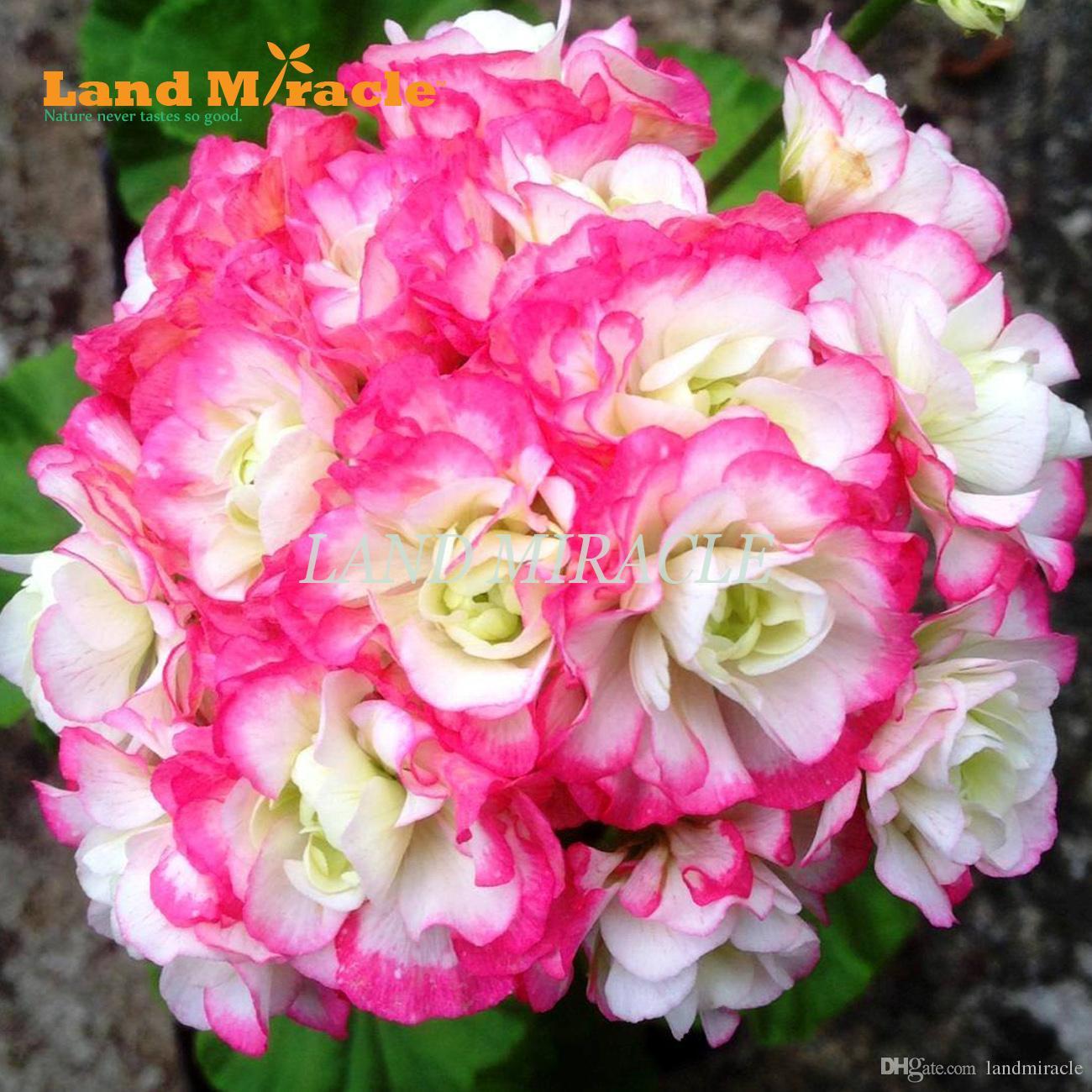 2019 Two Color Geranium Perennial Flower Seeds 5 Seeds Big Blooms