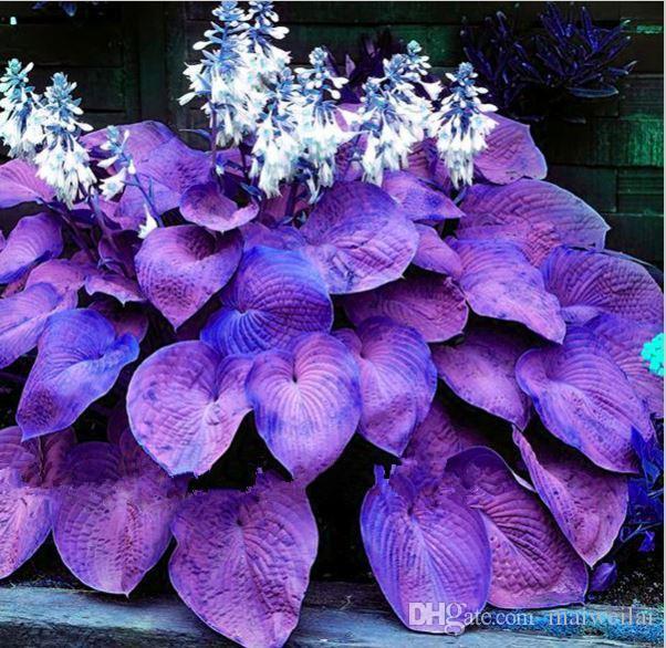 2019 Hot Sale Bonsai Pack Purple Hosta Seeds Perennials Plantain