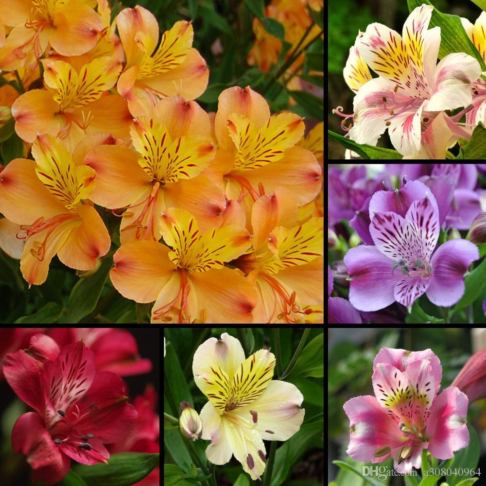 2018 alstroemeria seeds mix peruvian lily flower lilie seeds garden 2018 alstroemeria seeds mix peruvian lily flower lilie seeds garden decoration plant aa from a308040964 051 dhgate izmirmasajfo