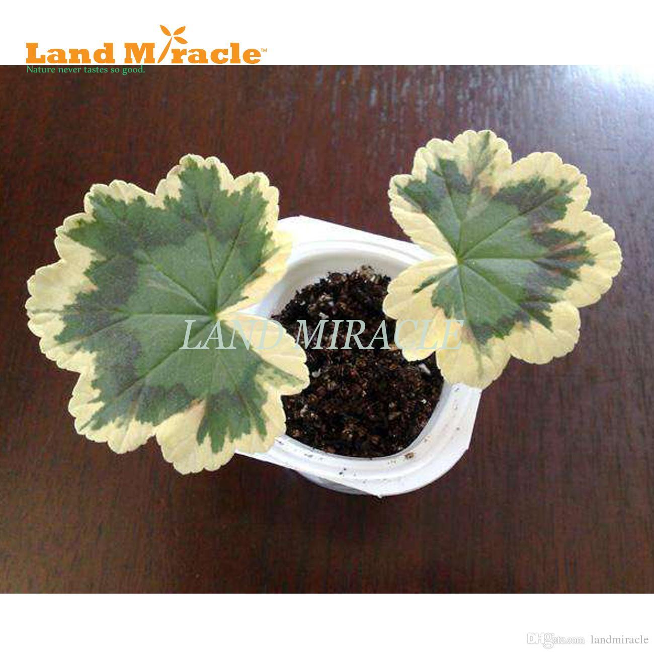 Sementes raras de gerânio japonês, 5 sementes / pack, Pelargonium plantas ornamentais 'RAINBOW GERANIUM' Indoor varanda planta