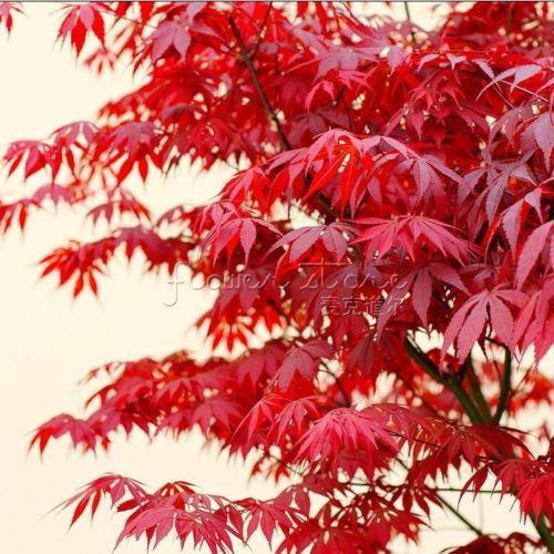 Bonsai tree Passionate Japanese Red Maple Leaf Seeds garden decoration plant A82