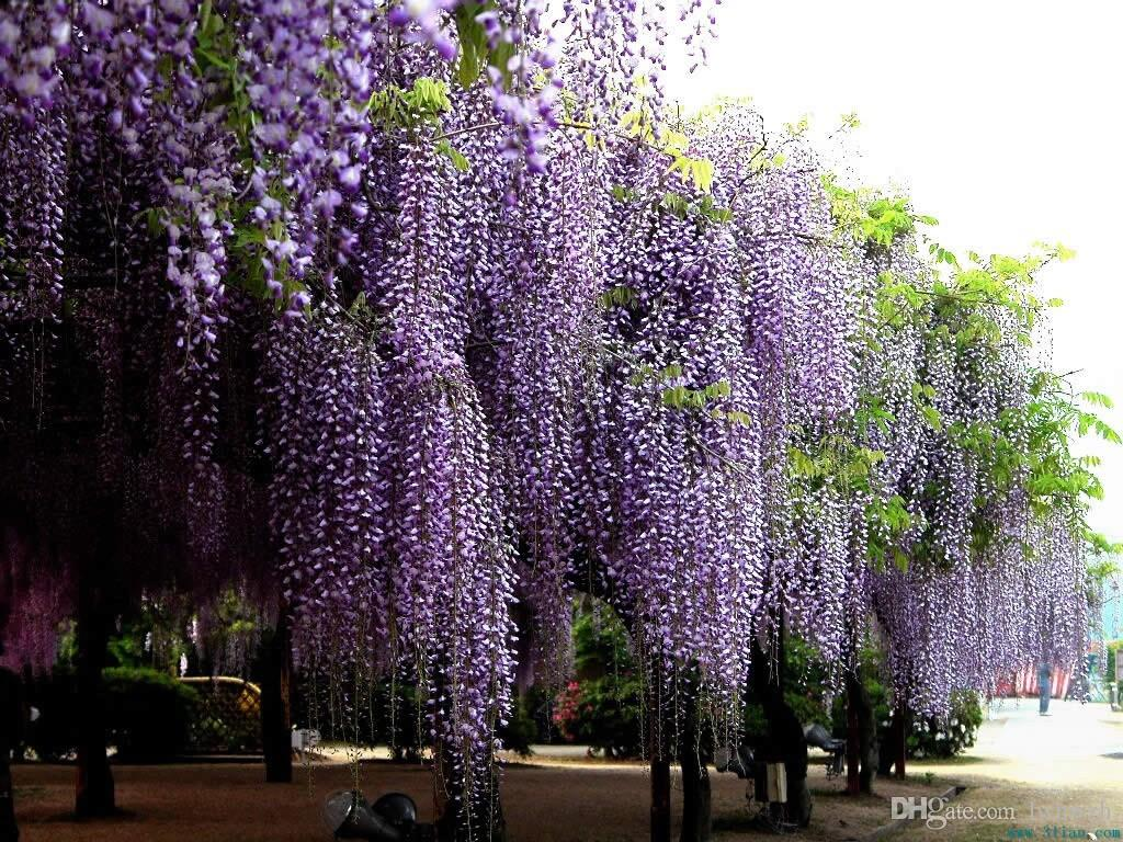 2018 Wholesale 10 Seeds Blue Chinese Wisteria Vine, Flower Seeds ...