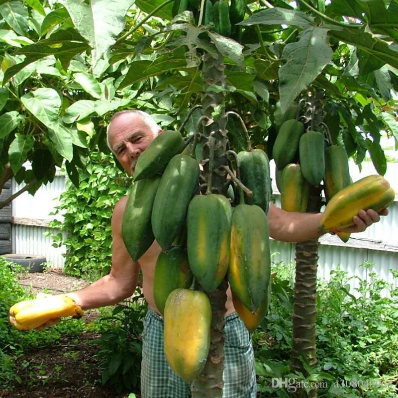 분재 식물 파파야 씨앗 맛있는 과일 정원 장식 공장 B16