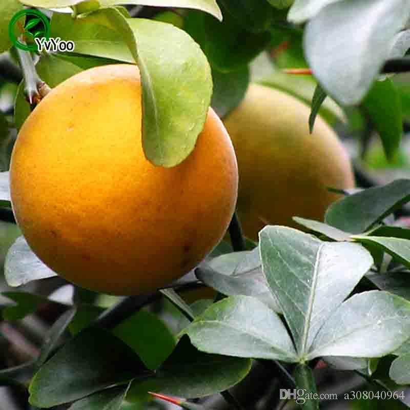 Trifoliate orange Seeds garden plants Bonsai organic fruit and vegetable seeds k005