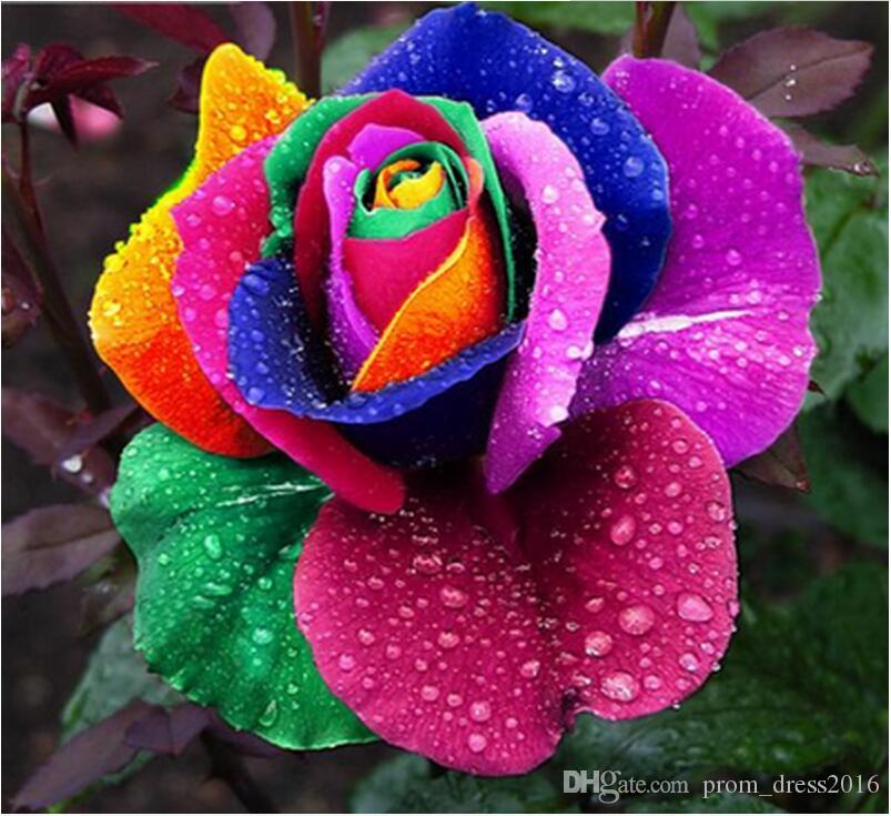 2016 Free-Shipping Colourful Rainbow Rose Seeds Purple Red Black Pink Yellow Rose Seeds Plant/Garden Beautiful Flower seeds HY1157
