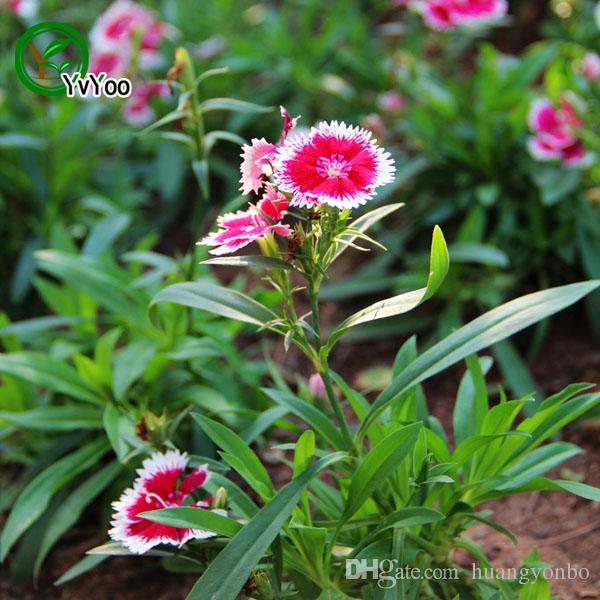 Karanfil Tohumlar Bonsai Balkon Çiçek Saksı Tohumları DIY Ev Bahçe 50 Parçacıklar / Q041