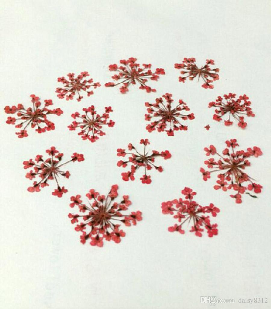 Pressed Dried Ammi Majus Flower Plants Herbarium For Times Gems Jewelry Pendant Rings Earrings Flower Making Accessories