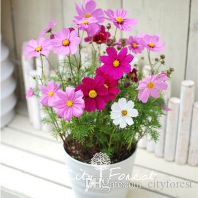 Dwarf Cosmos Flower Flower Seeds Bag Mix Color Easiest Grow