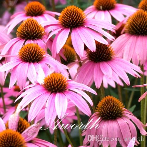 Online cheap echinacea coneflower flower 400 seeds bag mixed color online cheap echinacea coneflower flower 400 seeds bag mixed color perennial flower rare variety easy to grow from seeds by aworth dhgate mightylinksfo