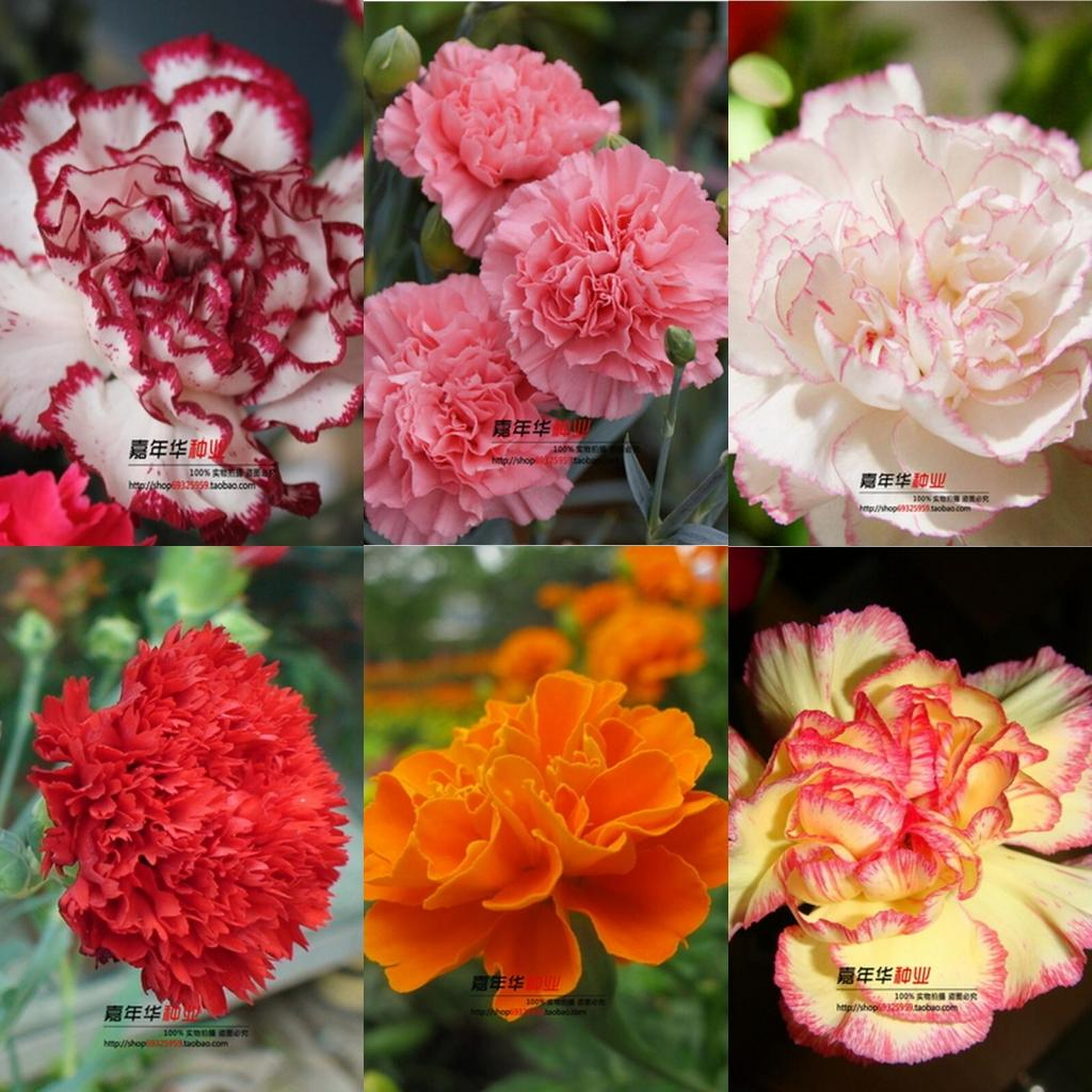 Online Cheap 2016 Carnation Seeds Enfant Nice 100 Kinds Of Aromatic