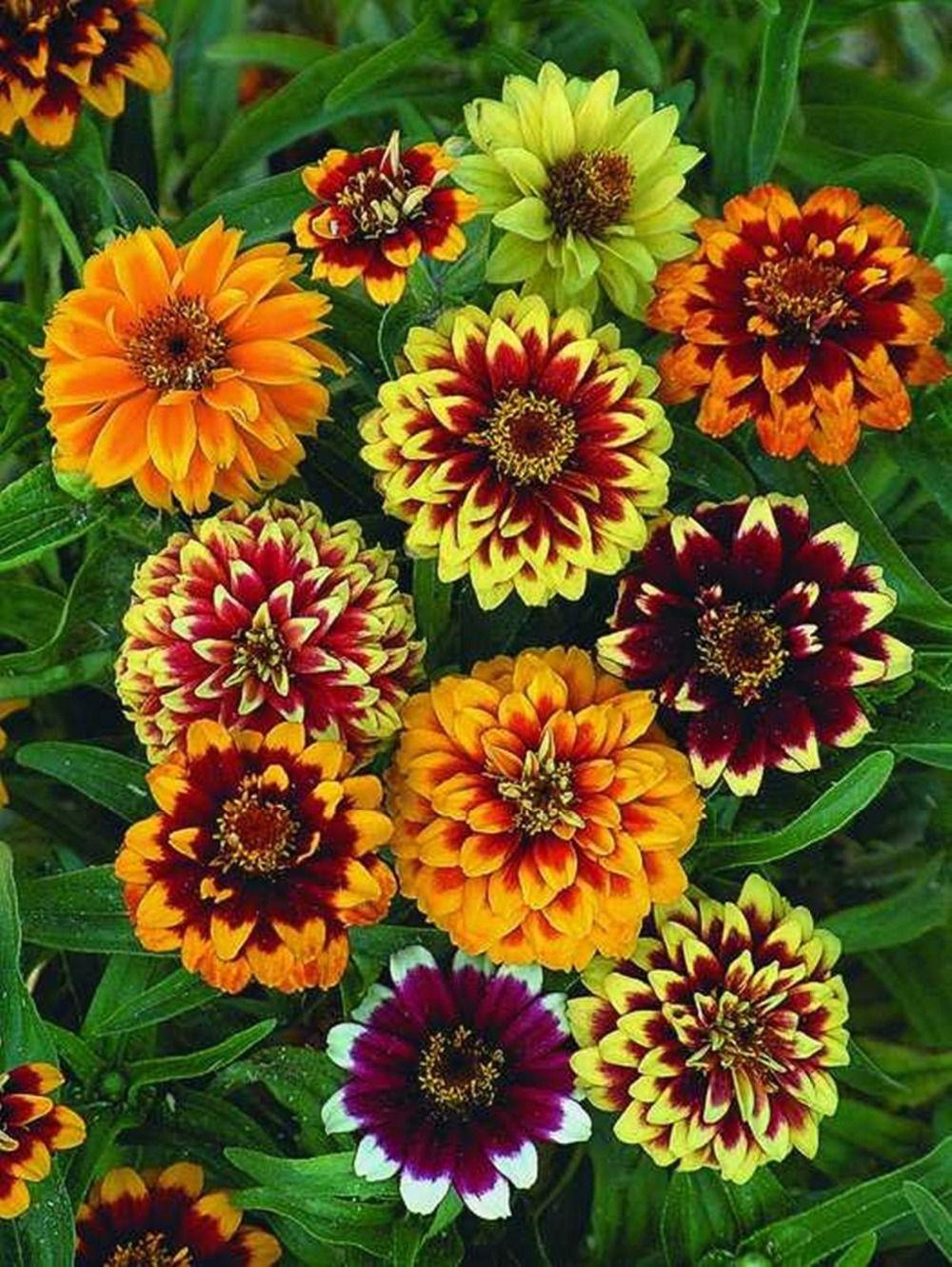 2019 Flower Seeds Red Zinnia Flower Seeds Persian Carpet ...