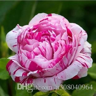 Rosa rose samen Bonsai Blume für Zimmerpflanzen Samen 20 Partikel /