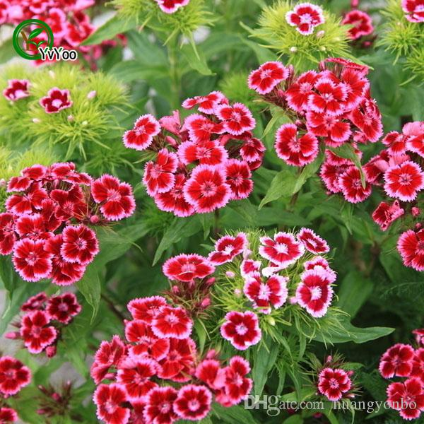 Dianthus Seeds Bonsai Balcony Flower Potted Seeds DIY Home Garden 50 Particles / Q041